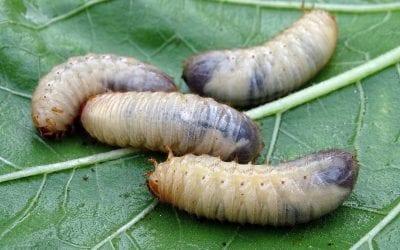 Ok dell'Ue alla commercializzazione di insetti: Veneto prima Regione italiana